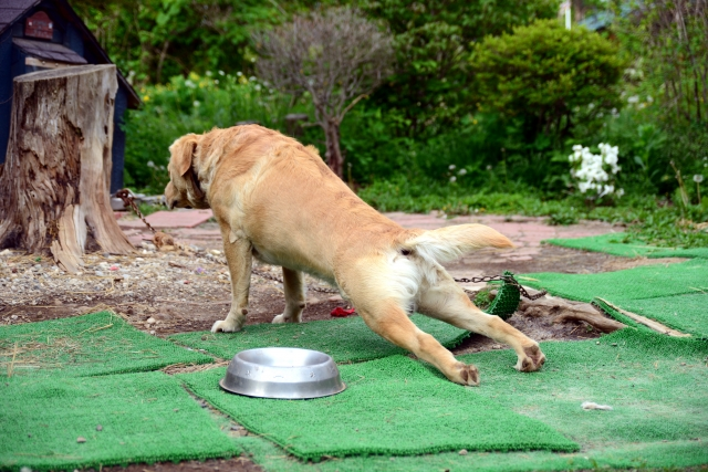 犬が腕立て伏せをする